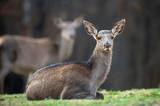 Female roe deer lies in a forest
