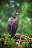 Eagle sitting on a pine - 232914341