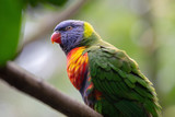 Four colored Parakeet - 232922180