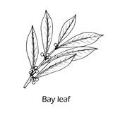 Medicinal and kitchen plant laurel - 232924519