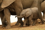 Tiny newborn African elephant calf walking next to his mother.
