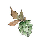 Green hops. Green leaf. Plant botanical foliage. Watercolor background illustration set. Isolated hops element. - 232937182