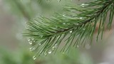 Natural background with pine tree branches. Raindrops on pine needles. - 232968562