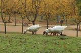 Wild geese in the park - 232981196