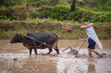 Modern day paddy field ploughing with Ox - 232998157