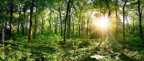 Leinwandbild Motiv Beautiful forest panorama in spring with bright sun shining through the trees