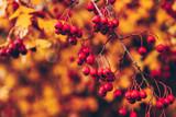Baies rouges sur fonds de feuilles d'automne - 233007740