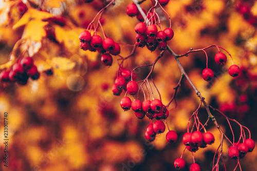 Foto Murales Baies rouges sur fonds de feuilles d'automne
