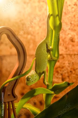 zielony kameleon zamarł na gałęzi bambusowej schodzącej