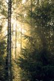 Sunrise sun rays through foliage - 233021549