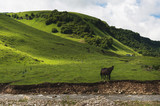 A pair of horses grazing on green pastures in a mountain valley of a mountain gorge on hills of meadows and trees in the North Caucasus. Russia - 233022933