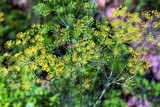 Bush blooming green dill - 233025542