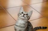 Tenero e piccolo gatto sul pavimento di casa con sguardo all'insù - 233026730