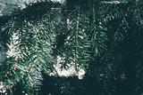 Christmas background. Green fir tree. - 233030147