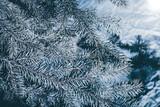 Christmas background. Green fir tree. - 233031195