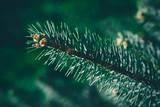 Christmas background. Green fir tree. - 233031773