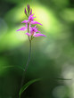Leinwanddruck Bild - Cephalanthera rubra, known as Red Helleborine, is an orchid found in Europe. Gentle spring flower rare orchids in the morning sun.