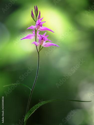 Leinwanddruck Bild Cephalanthera rubra, known as Red Helleborine, is an orchid found in Europe. Gentle spring flower rare orchids in the morning sun.