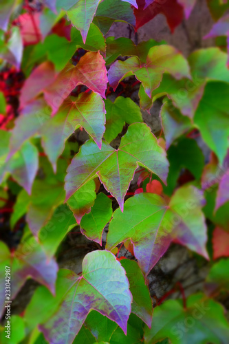 common ivy unusually colored with focus in the middle , autumn multicolored hedera helix climbing on a concrete wall