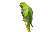 Green parrot isolated over white - 233043331