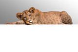 Lion cub lying at the white background - 233043386
