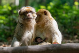 family of berber macaques - 233048904