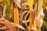 Ripe corn on the cob - 233053725