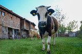 A cow is eating grass near the house in meadow,Other cow is looking at the camera. - 233053942