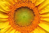 Golden summer sunflower in the sun, close-up of a flower of a sunflower
