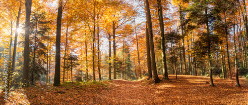 Foto Murales Panorama sun in the autumn forest.