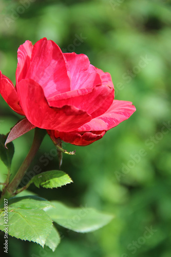 Red rose growing in garden. Beautiful flower closeup blossom in garden