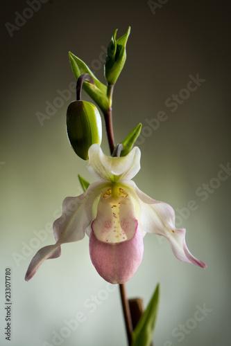 Orchids - Paphiopedilum orchid flower - 233071780