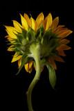 Back of Sun Flower