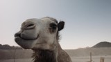 Close up shot of a camel head looking around, Desert in Egypt - 233086136