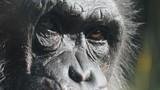 Close-Up Old Chimpanzee Looking Towards Camera - 233097132