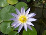 Blüte einer Seerose - 233104502