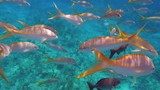Colorful Yellowtail Snappers fish school underwater. Slow motion - 233107511