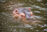 Hippopotamus ; Hippo / Close-up of a hippopotamus - 233129940