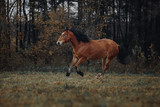 Bay horse runs in the autumn field - 233137182