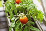 Container vegetables gardening. Vegetable garden on a terrace. Herbs, tomatoes growing in container - 233137379