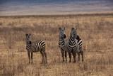 Zebra (Equus quagga) © EinBlick