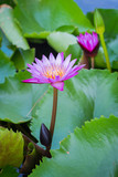 Lotus is a popular plant for home decoration in Asia.