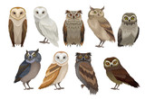 Flat vector set of different species of owls. Wild forest birds. Flying creatures. Elements for ornithology book - 233141568