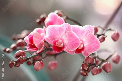 Fototapety, obrazy : Storczyki kwitnące