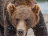 The Kamchatka brown bear is a subspecies of the brown bear, common on the territory of Eurasia. It differs from its relatives living in Siberia by its larger size and docile nature. - 233147506