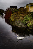 white swan swims in river near town © Chris Reynolds