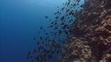 Sharks hunt large school of fish - 233152525