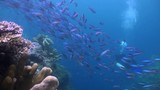 Large School of Fusiliers (Caesionidae) and Scuba Divers - Malaysia - 233160727