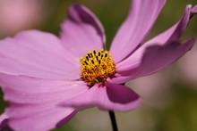 "Постер, картина, фотообои ""Pink Cosmos flower up close against a plain background."""