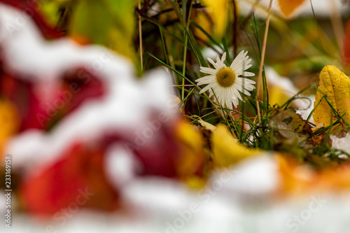 Autumn. Bright red, orange, yellow and green leaves are covered with the first snow. Multicolored details of nature in the fall. - 233169158